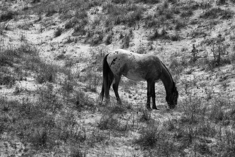 The Purist (no Edit, No Filter) Wild Horses Cumberland Island NEM Black&white