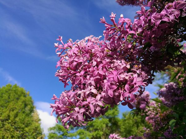 Flower Blossom Nature Beauty In Nature Growth Branch Lilac Close-up Outdoors Low Angle View Sky Botany Freshness Fragility Blossom And Blue Sky Blossom And Sky Flowers Flowers,Plants & Garden Flower In The Sun Flower And Sky P9 Lilac Blossoms Lilacs Blue Sky Sky And Flowers