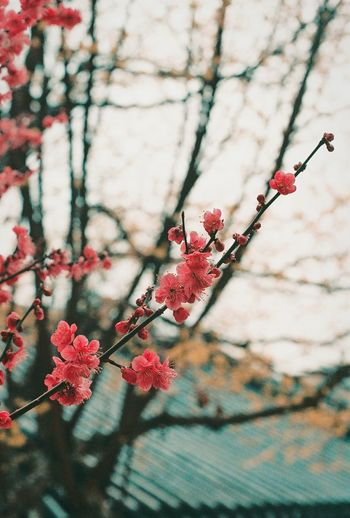 편한함.First Eyeem Photo Film Photography South Korea Film Seoul Flower Pink Color Picture Photography 필름 필름카메라 필름사진 사진 매화 Filmcamera 35mm Neon Life Nature Love Kodak Portra160 Fujifilm 35mmfilmphotography Tree Branch Fruit