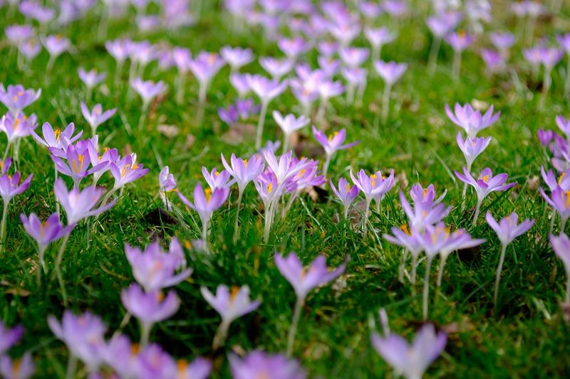 Growth Nature Beauty In Nature Flower Green Color Freshness Plant Petal No People Outdoors Grass Day Blooming Fragility Close-up Flower Head Crocus Flowers Tenebrio.photos Fuji-xe2s Zeiss Planar 60mm
