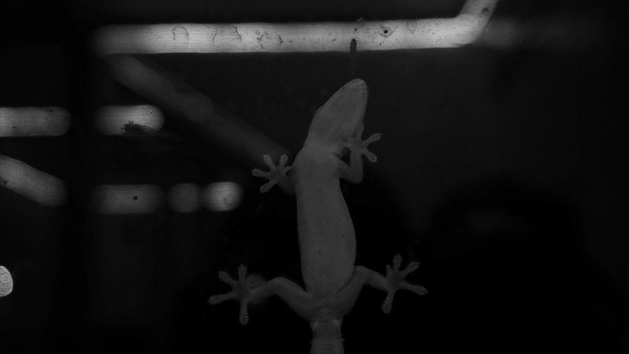 Lizard Indoors