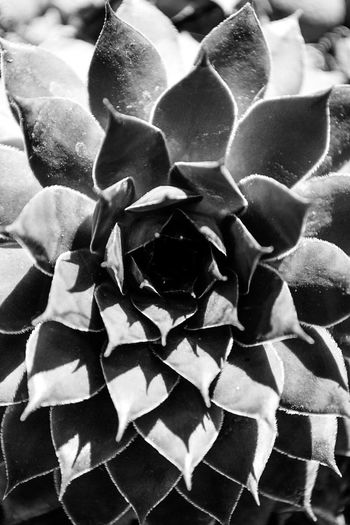 Houseleek in black and white. Close-up No People Fragility Nature Day Freshness Plant Houseleek Hauswurz Black And White Schwarzweiß Shadows & Lights Schattenspiel  Sukkulent