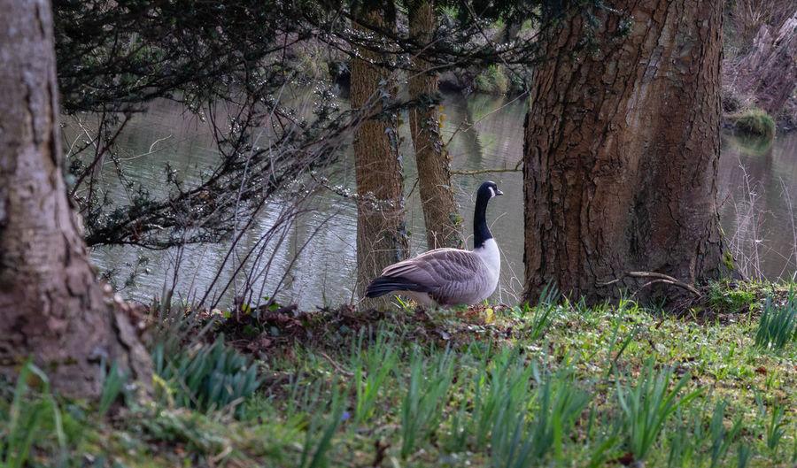 Goose Bird Animal Wildlife Plant Animals In The Wild Tree Trunk Day No People Grass Riverbank
