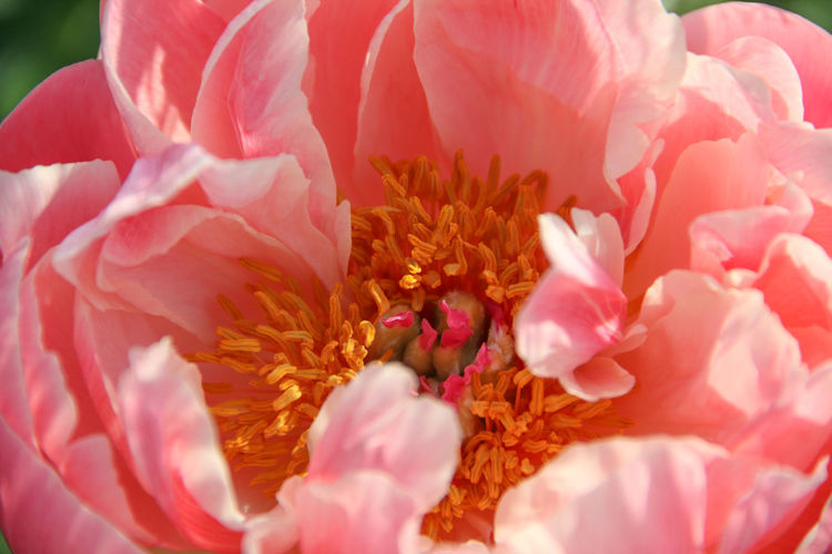 Gardening Growing Peony Bloom Vivid Colours  Beauty In Nature Big Flower Blooming Blossoming  Close-up Colours Of Nature Flower Flower Head Fragility Freshness Garden Photography Growth Nature Outdoors Peony Fest Peony Flower Petal Pink Color Pistil And Staminas Stamens Tenderness And Warmth...