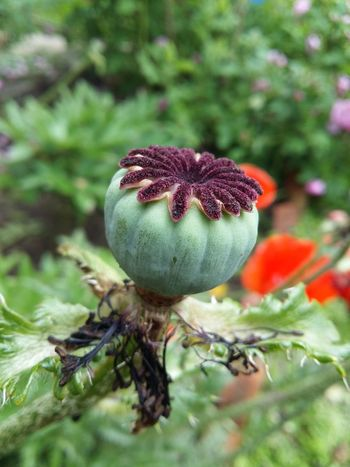 Plant Flower Nature Flower Head Red Poppy Poppy Flower Poppy Seed Poppy Head EyeEm Selects Poppy Love