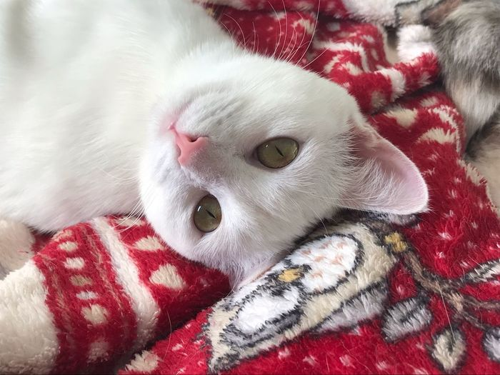 Dolce Bia Mammal Domestic Animal Animal Themes Domestic Animals Pets Bed Cat Feline Domestic Cat Looking At Camera One Animal