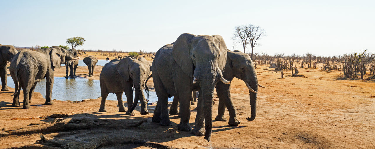 Animal Group Of Animals Mammal Animal Themes Elephant Land Animal Wildlife Animals In The Wild Nature No People Clear Sky Environment Landscape Medium Group Of Animals African Elephant Animal Family Nehimba
