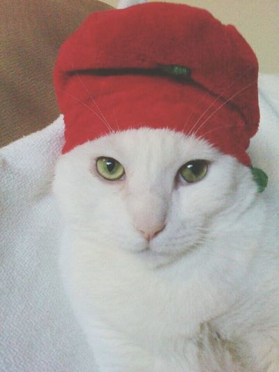 Christmas Kitty! Pet Photography  My Cat Is Cooler Than Your Kids! Pets Corner Check This Out Happy Holidays