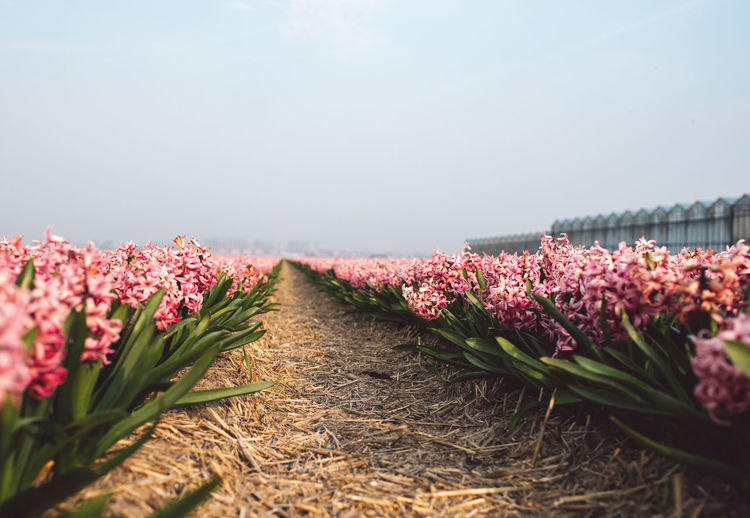 Hyacinth Flower Plant Flowering Plant Beauty In Nature Growth Nature Freshness Vulnerability  Fragility Pink Color Day No People Sky Tranquility Outdoors Land Selective Focus Diminishing Perspective Field Flower Head
