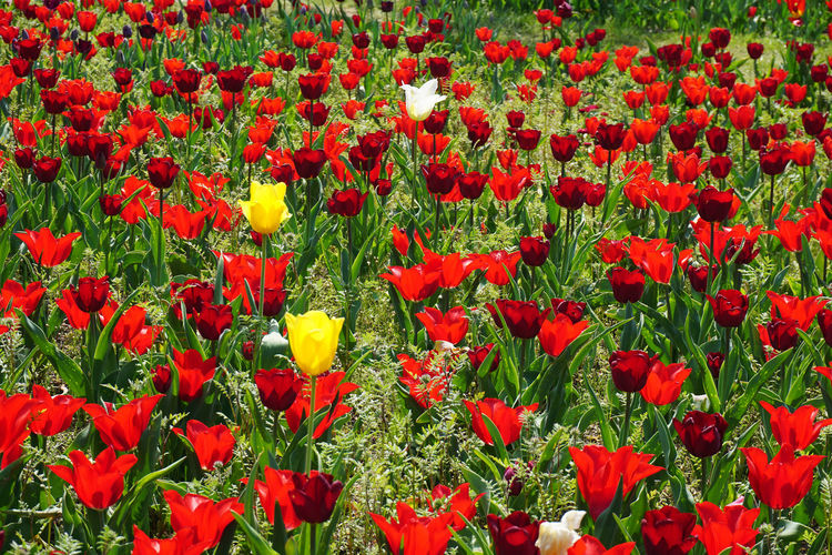 lots of tulips Flower Flowering Plant Red Plant Freshness Beauty In Nature Fragility Vulnerability  Growth Petal Flower Head Inflorescence Land Field Close-up Day Nature Full Frame Tulip Green Color Poppy No People Outdoors Flowerbed Tulips