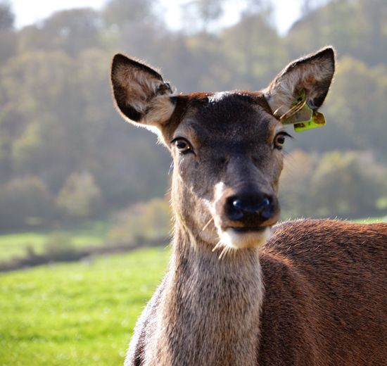 Deer Looking At Camera Wet Nose Animal Portrait Animal Themes Animal Wildlife Animals In The Wild Close-up Day Doe Domestic Animals Face Field Focus On Foreground Grass Looking At Camera Mammal Nature No People One Animal Outdoors Petting Zoo Portrait Sky Stag