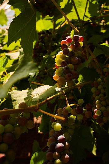 Grapes in the sun Bunch Close-up Day Food Food And Drink Freshness Fruit Grape Green Color Growth Healthy Eating Leaf Nature Outdoors Plant Plant Part Plantation Ripe Vineyard Winemaking