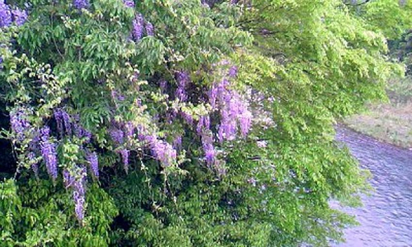 Beauty In Nature Blooming Flower Landscape Nature No People Outdoors Purple Scenics Wisteria 川沿い 藤の花