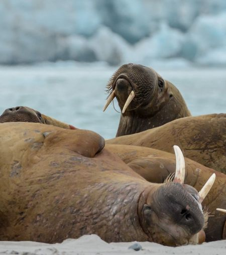 Walruses Resting On Sea Shore