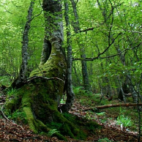 Forest Bosque Puxaasturies Tarna Hayedo