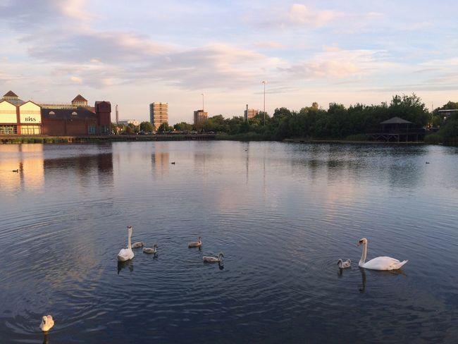Family Swan Canada Water Water Lake City Animal Themes Bird IPhoneography London Lifestyle Embrace Urban Life That summer, there we were. Adapted To The City EyeEm LOST IN London