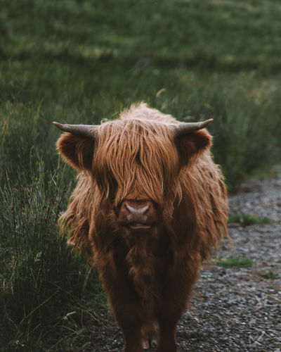 Highland cattle standing on field
