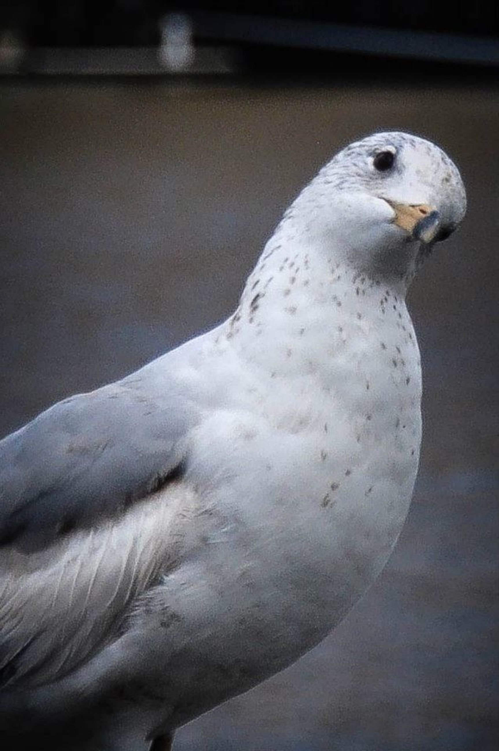 bird, animal themes, one animal, animals in the wild, wildlife, beak, seagull, close-up, white color, focus on foreground, perching, nature, side view, animal head, full length, outdoors, day, pigeon, no people, zoology