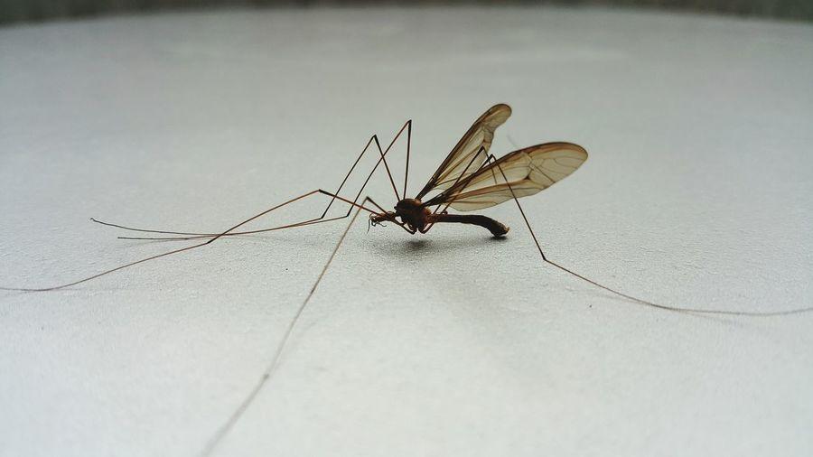 zancudo Close-up Insect Insecto Mosquito Zancudo