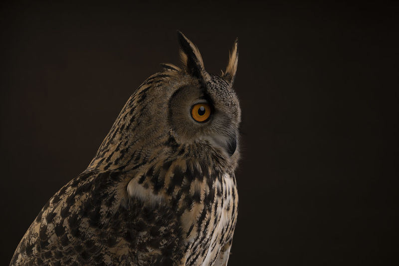 Close-up of a turkmenistan eagle owl looking away against black brown background