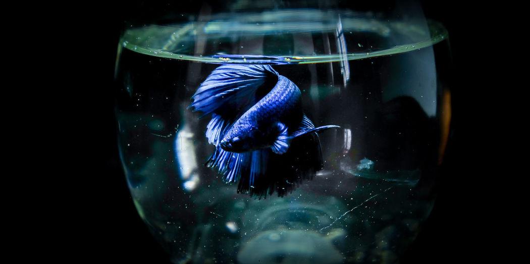 Animal Themes Animals In Captivity Animals In The Wild Aquarium Blue Close-up Day Fish Fishbowl Freshness Goldfish Indoors  Nature No People One Animal Sea Life Swimming UnderSea Underwater Water