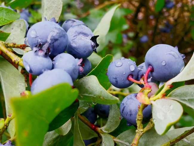 After The Rain Fresh And Beautiful Healthy Eating Healthy Fruit Blueberries Macro Fruits Blue Berry Plantation Close Up Close-up Ladyphotographerofthemonth Showcase August Beautiful Nature Raindrops On Blueberries Raindrops After Rain Visual Feast Food Stories