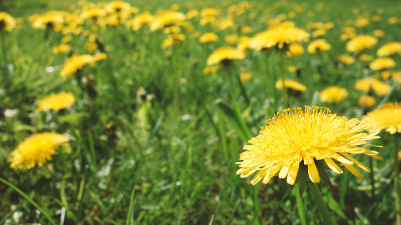 Dandelions, everywhere dandelions! Lay down, watch the sky and forget, that you're adult - at least for some time! Meadow Selective Focus Yellow Summer Childhood Memories Flower Head Flower Black-eyed Susan Yellow Rural Scene Sunflower Uncultivated Petal Springtime Field Dandelion Dandelion Seed Flowering Plant In Bloom Blooming Botany Plant Life Pollen Stamen
