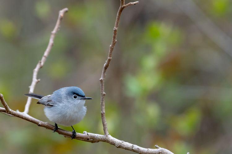 Blue-gray