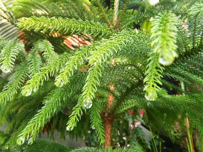 Pinetrees 🎄 RainDrop Raindrops Raindrops On Leaves Raindropshot Greentree