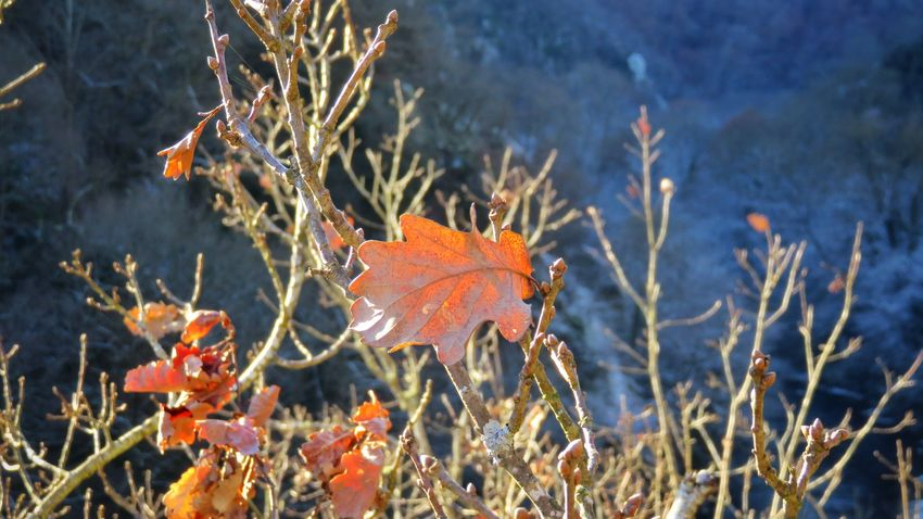 Leaf Autumn Nature Change Outdoors Close-up Plant No People Beauty In Nature Day Forest Maple Leaf Cold Temperature Water Nature Beautiful Winter Canon Tranquility Auvergne Allier Canonpowershot Beautiful Colors Branch Beautifulview