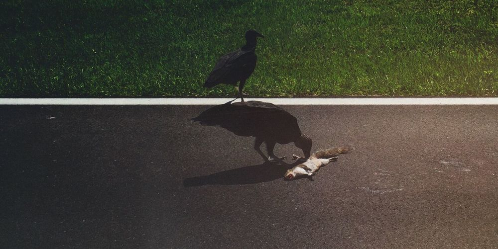 High Angle View Of Birds Feeding On Dead Squirrel On Road