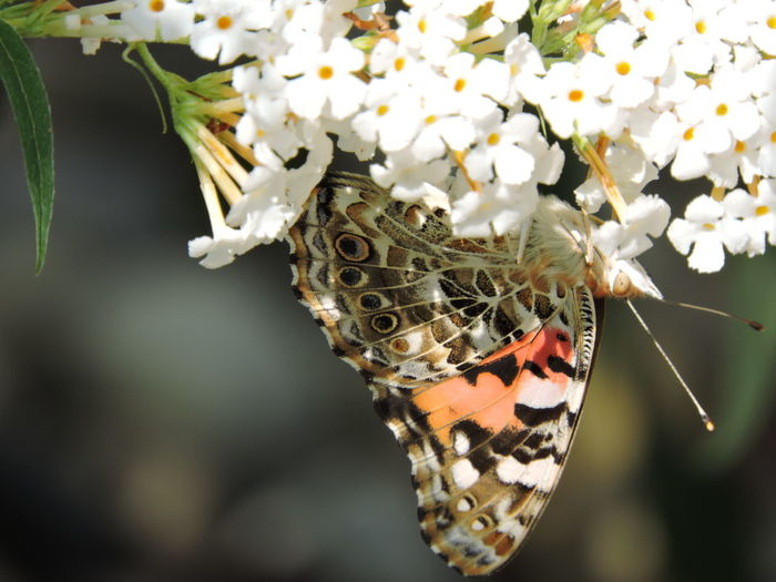 Painted Lady Butterfly Animal Markings Animal Themes Animal Wildlife Animals In The Wild Beauty In Nature Butterfly Butterfly - Insect Close-up Day Flower Flower Head Focus On Foreground Fragility Freshness Insect Nature No People One Animal Outdoors Perching Plant Pollination Spread Wings