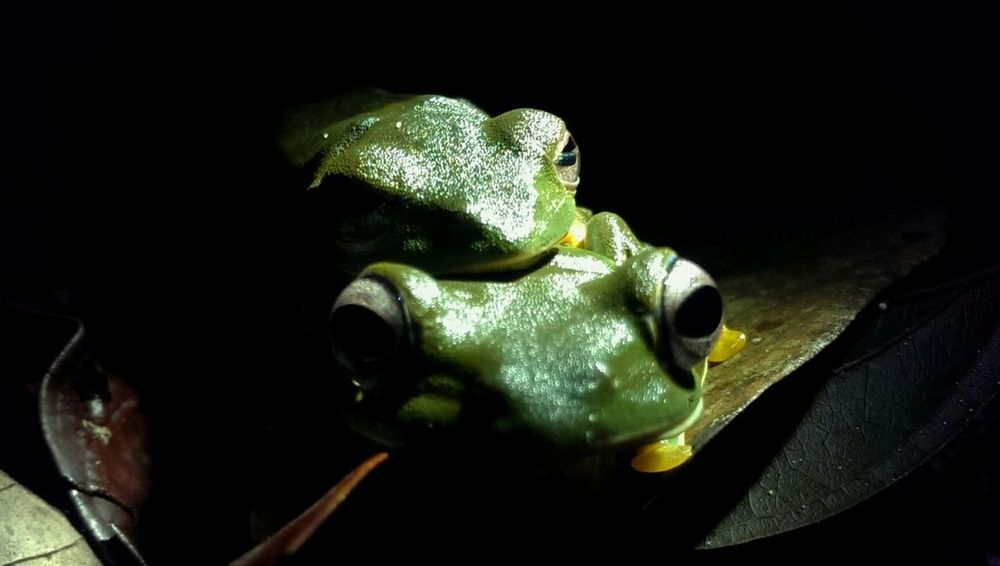 Wallece's Flying Frog, Sarawak Borneo Frog Rainforest Wonder Of Frogs Amphibians Rainforest Frog