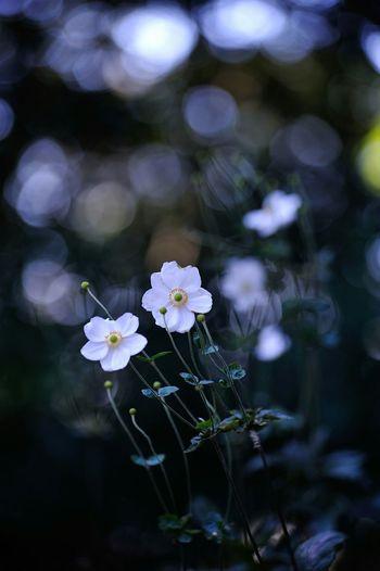 秋明菊 Japanese Anemone Flowers EyeEm Flower Nature EyeEm Nature Lover Nature_collection Relaxing Macro Macro_collection