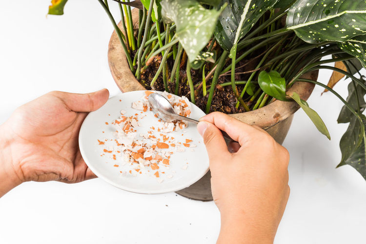 Hand feeding crushed eggs shells onto plants as natural garden organic fertilizer at home Natural Plant Crushed Eggshell Fertilizer Hand Home Remedies Human Hand Organic Potted Plant Recycling