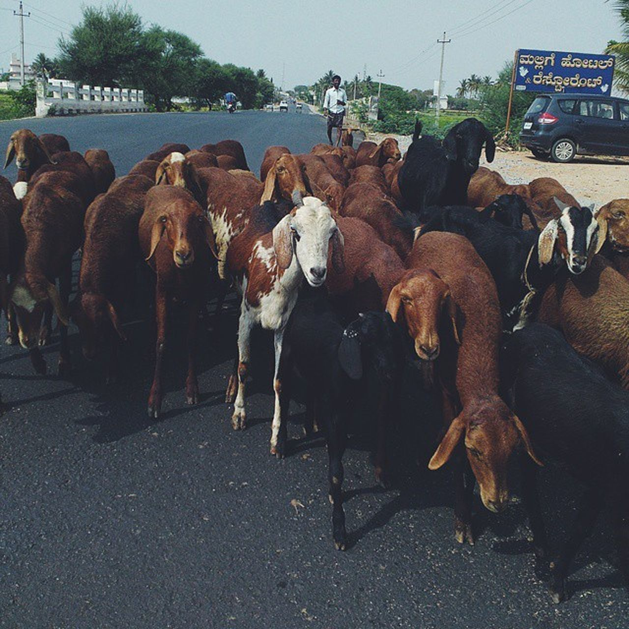 domestic animals, animal themes, livestock, mammal, large group of animals, day, outdoors, cow, standing, road, large group of people, nature, sky, people