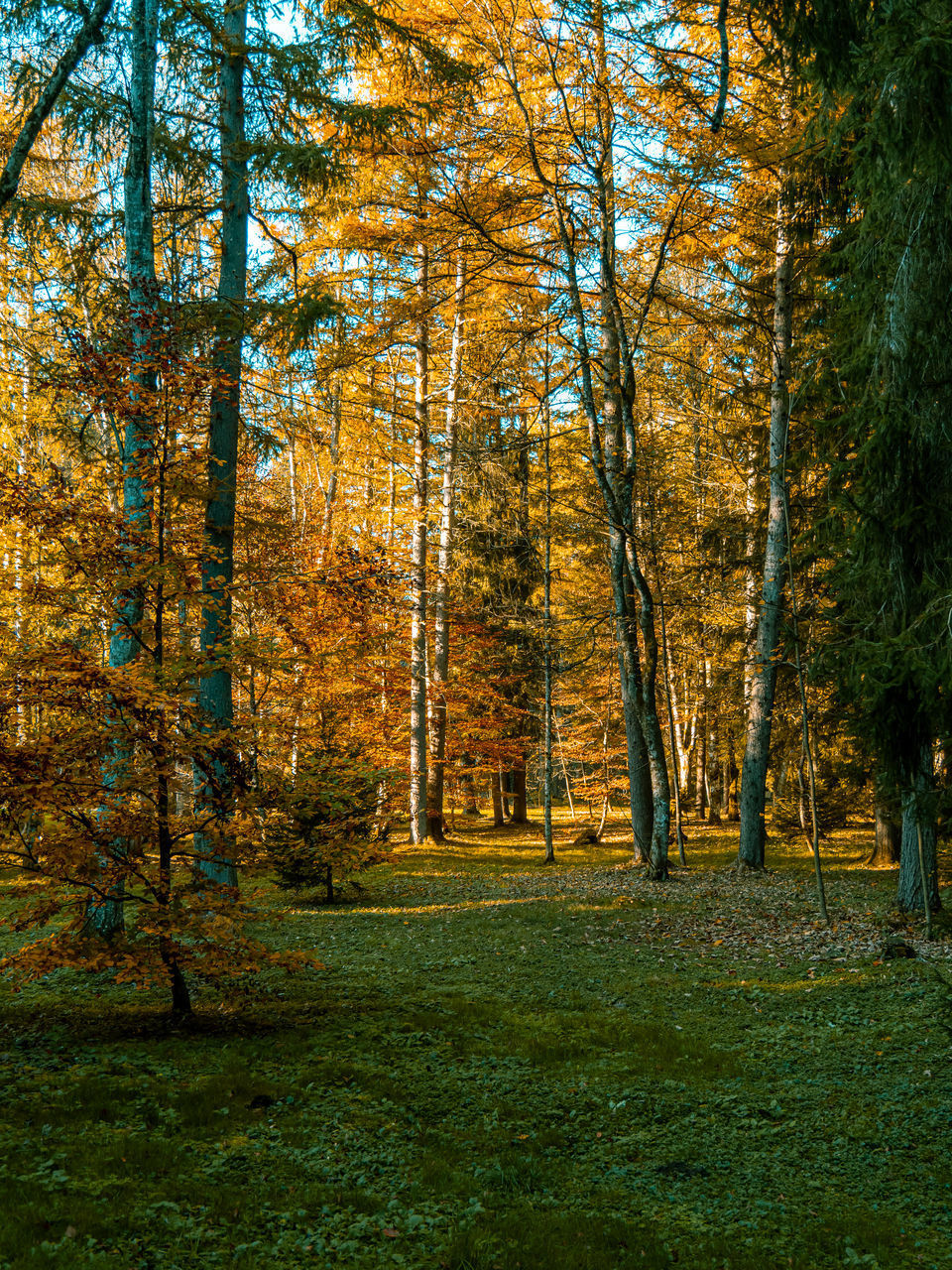 tree, plant, autumn, land, beauty in nature, forest, tranquility, change, growth, nature, scenics - nature, day, tranquil scene, non-urban scene, woodland, no people, green color, landscape, grass, idyllic, outdoors, autumn collection