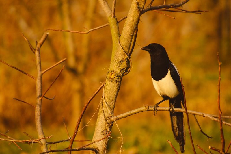Magpie on the tree Japan Fukuoka,Japan Japan Magpie Bird Animals In The Wild Animal Themes One Animal Perching Animal Wildlife Nature Close-up Beauty In Nature Tree Raven - Bird Focus On Foreground No People Outdoors Branch Day