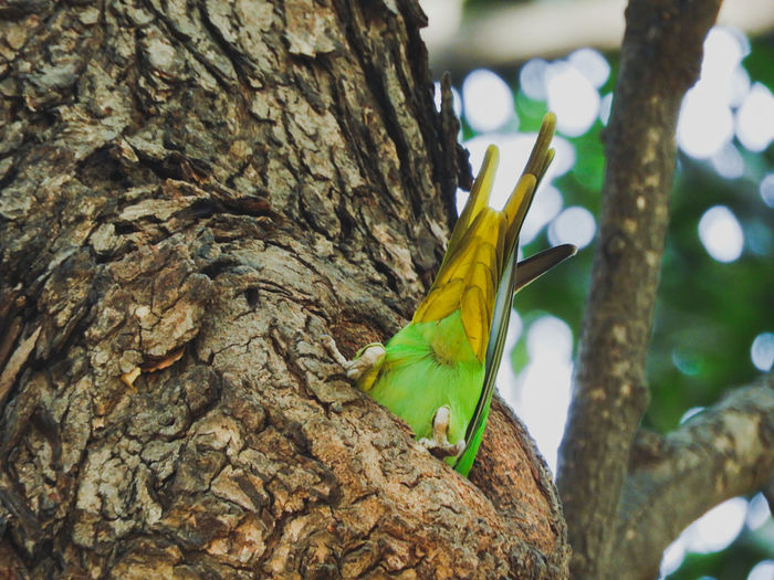 parakeet in hallow Perched Hallow Spring Rose Ringed Parakeets Yellow Green Bird India Vibrant Color Colourful Parakeet Tail Feather  Hole Bird House Tree Tree Trunk Close-up Avian Perching Parrot
