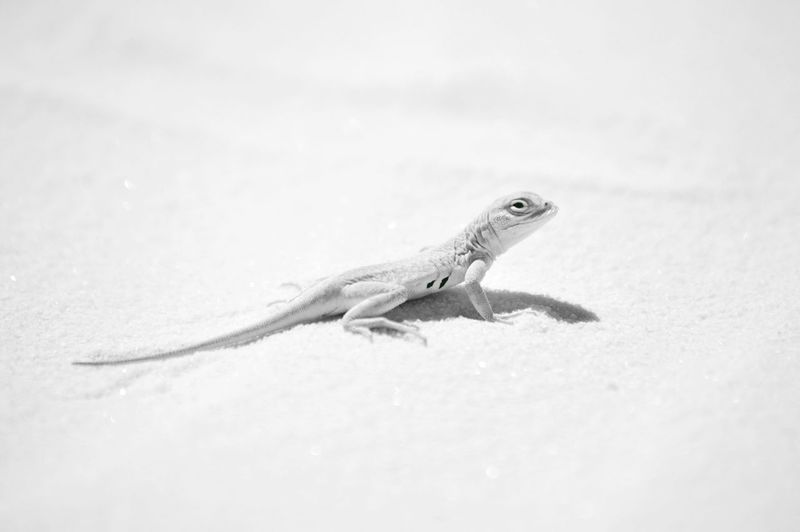 Reptile Lizard
