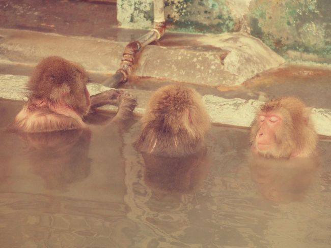 Monkeys enjoy hot spring. Monkey Hotspring Relaxing Feeling Good Hakodate Hokkaido