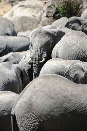 Elephants Elephant Herd Of Elephants Safari Day Outdoors Retail  Heap Large Group Of Objects Full Frame Non Urban Scene No People