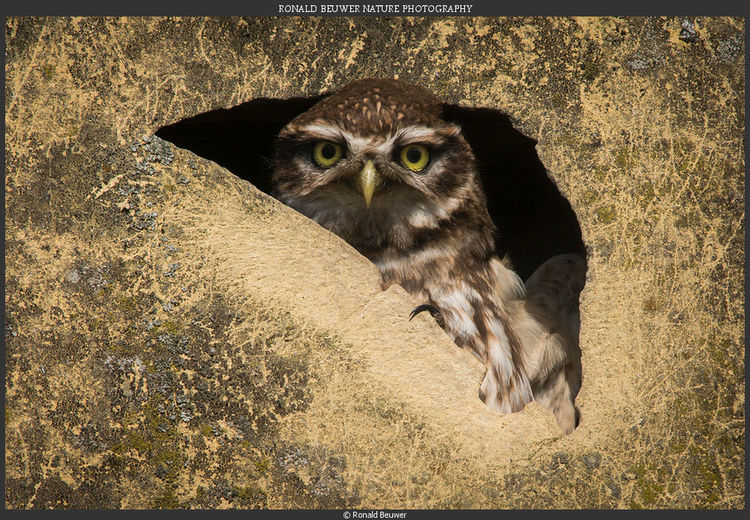 Owl Little Owl Bird Animal WildlifeEuropean little owl