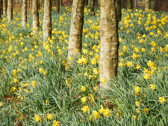 In A Row Trees Daffodils Flowers Outdoors Springtime Tree Trunk Yellow
