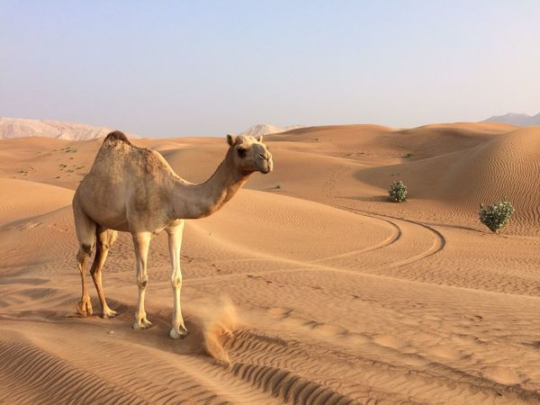 Camel Desert Dubai UAE Rub Al Khali Wildlife