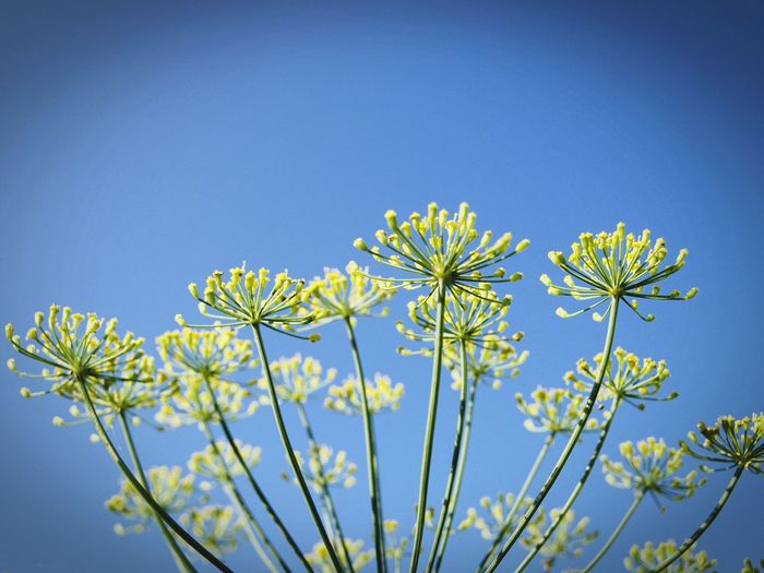 Flower Growth Plant Blue Sky Nature Uncultivated No People Clear Sky Flower Head Beauty In Nature Outdoors Fragility Day Close-up Tree Freshness Dill Perspectives On Nature Summer Exploratorium