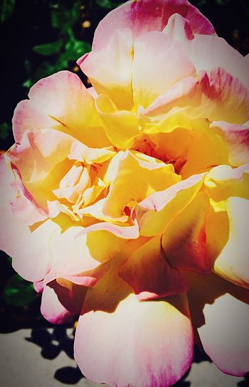 Something beautiful Flower Freshness Fragility Beauty In Nature Flower Head Growth Yellow Petal Close-up Softness Nature In Bloom Pink Color