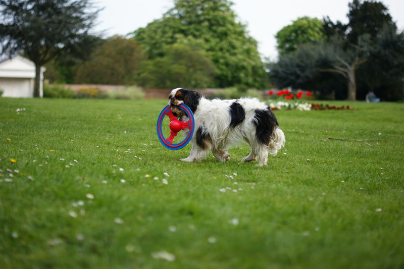 Domestic Pets Animal Themes Domestic Animals Animal One Animal Mammal Dog Canine Plant Grass Vertebrate Day Green Color Nature Selective Focus Tree Field Playing Motion No People Outdoors Border Collie Shih Tzu Sashalmi
