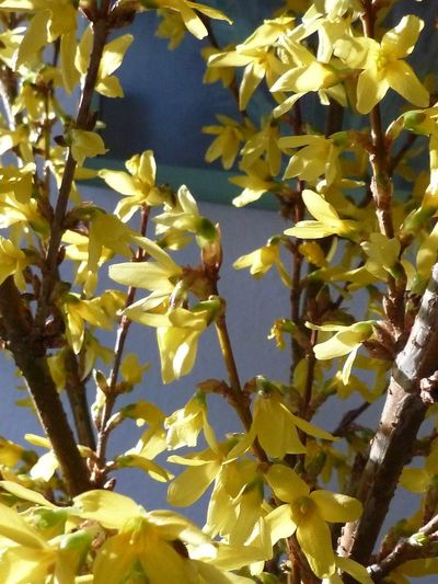 EyeEm Gallery Forsythienblüten Growth Nature Flower Leaf Yellow Beauty In Nature Plant