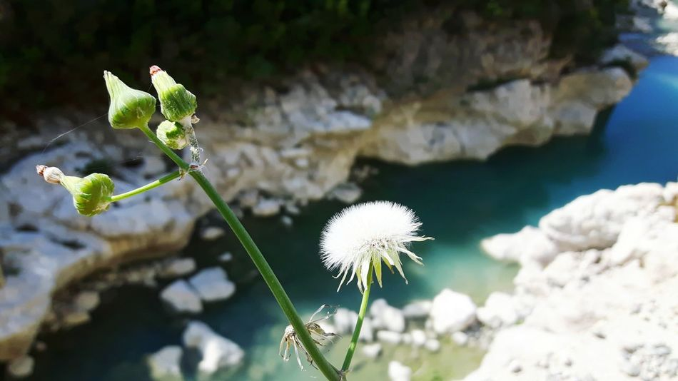Nature Plant Flower Beauty In Nature Growth Day Outdoors No People Fragility Close-up Freshness Flower Head Tujan ALBANIA❤️ Nature River Rocks Focus On Foreground